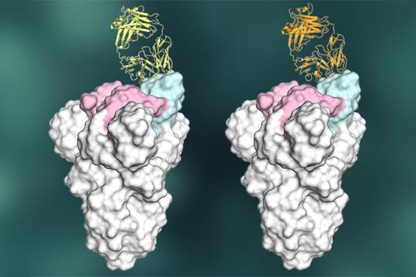 antibody graphic